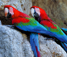 Parrot | Macaw