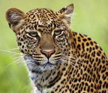 Leopard | Jaguar