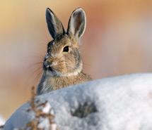 Rabbit   Pika