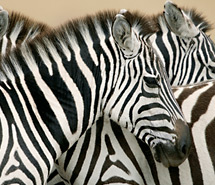 Zebra | Wildebeest
