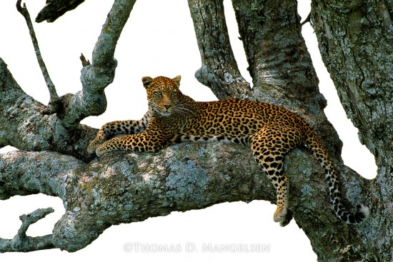 Shades of Sapphire - Leopard