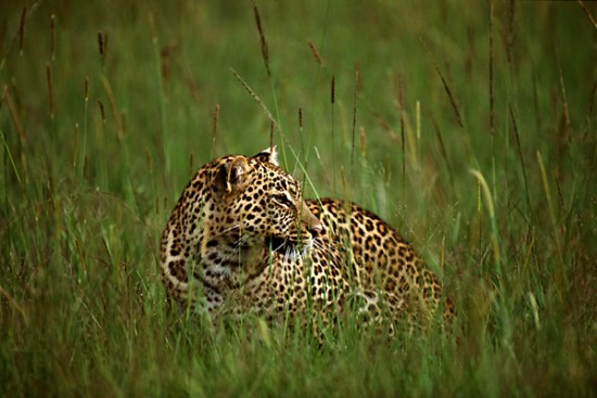 On the Plains - Leopard