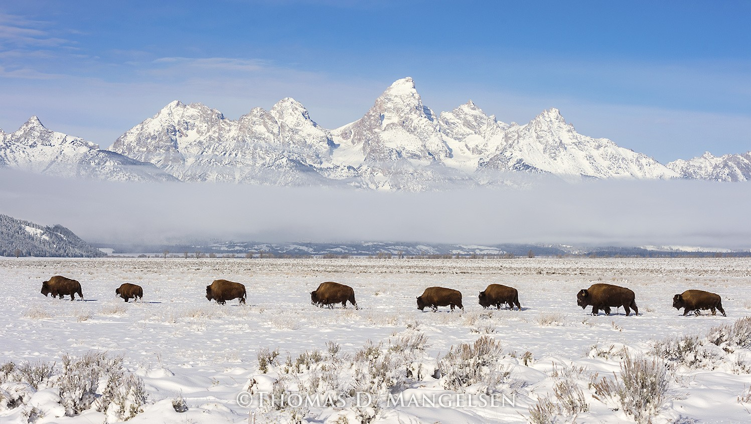 The Long March Bison Mammals
