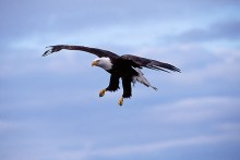 Coming In - Bald Eagle