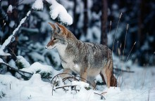 After the Snow  - Coyote