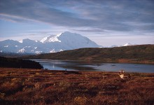 Denali Morning Caribou