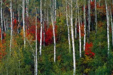 Aspens and Mountain Maples
