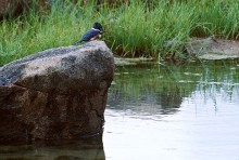 Fishing Hole - Kingfisher