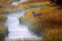 Misty Morning Creek - Coyote