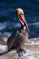 Brown Pelican Standing