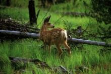 First Summer - Mule Deer Fawn