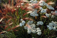 Foxtail and Yarrow