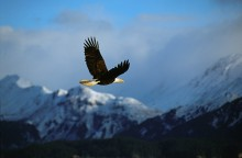 High Country Flight - Bald Eagle