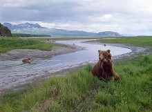 Bear River - Brown Bears