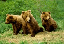 Family Lookout - Brown Bears