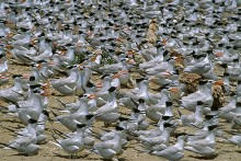 The Colony - Royal and Sandwich Terns