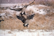 Canada Geese and Snow