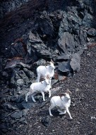 Three Dall Sheep