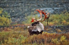 Time of the Caribou