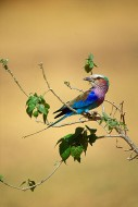 African Colors - Lilac Breasted Roller