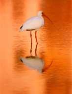 Shallow Waters - White Ibis