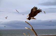 Along the Coast - Bald Eagle