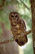 Heart of the Forest - Northern Spotted Owl