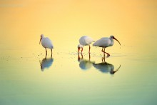 Gift of the Tides - White Ibis