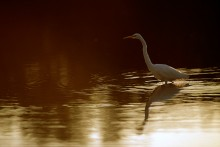 Evening Shadows - Great Egret