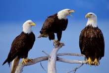 A Council of Three - Bald Eagles