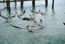 Fishing the Pier - Brown Pelicans