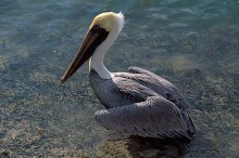 Brown Pelican - Shallow Water