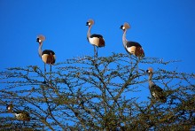 Thorn Bush - Crowned Cranes