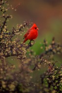Jewel of the Desert - Northern Cardinal
