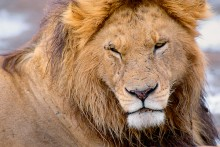 The Noble One - African Lion