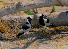 Etosha Shade - Blacksmith Plovers