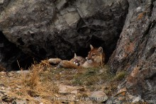 Mother's Love - Mountain Lions