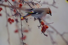 The Harvest - Bohemian Waxwing