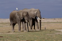 Plains' Travelers - Egret and Elephants