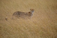 Grasslands Cheetah