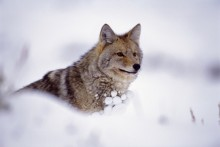On Guard - Coyote