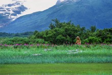 Glaciers and Fireweed - Brown Bear