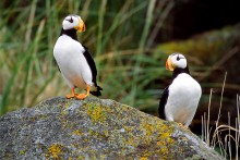 Cliff Dwellers - Puffin Pair