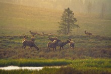 Summer Rains - Yellowstone Elk