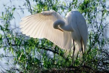 Le Danseur - Great Egret