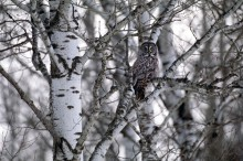 Among the Aspens - Great Gray Owl
