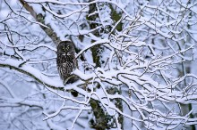 Boughs of Winter - Great Gray Owl