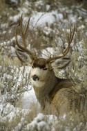 Winter Sage - Mule Deer