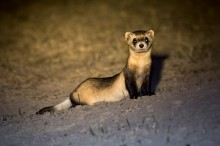 Night Ranger - Black-Footed Ferret