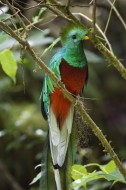 The Sacred One - Resplendent Quetzal